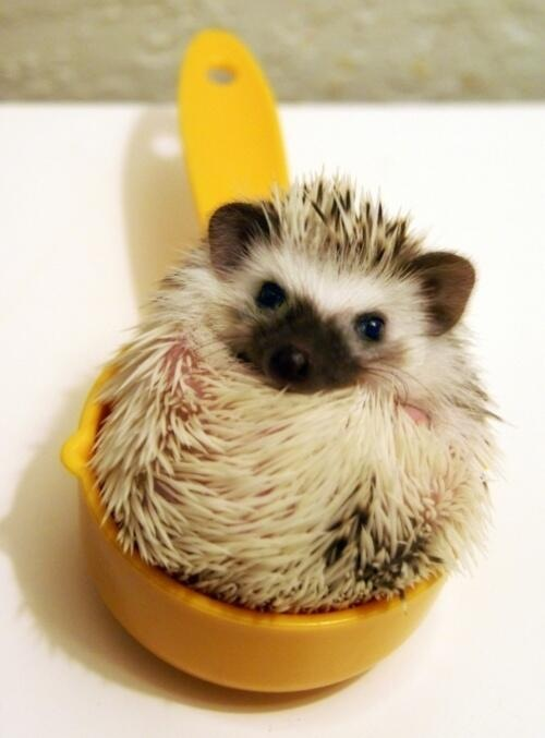 hedgehogs need to be measured as with all ingredients