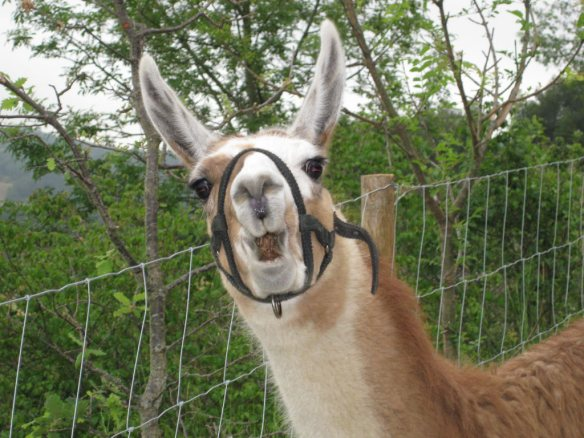 If you think you may have seen a deadly false widow you need a llama